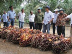 Petani Sawit Rakyat di Muba Panen dengan Produktifitas Tinggi